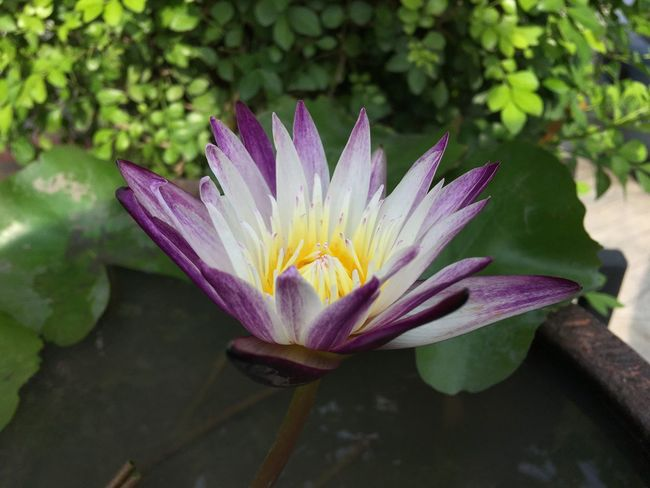 Flower Petal Beauty In Nature Nature Fragility Growth Freshness Flower Head Plant Leaf Outdoors Water Lily Day No People Blooming Lotus Water Lily Close-up Water ดอกบัว