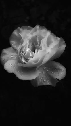 A yellow rose after an evening rain. Monochrome Photography Blossom Macro Single Flower Beauty In Nature Flower Head Close-up Followplease Follow4follow Followme