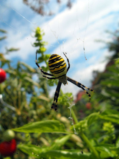 Day Detail Garden Green Hanging Insect Macro One Animal Spider Wesp