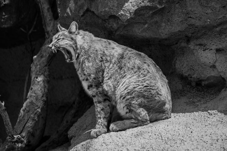 Side View Of A Yawning Cat