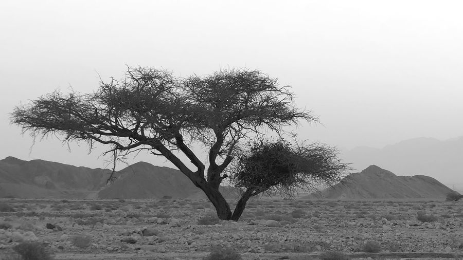 Israel Desert Plant Tree Sky Tranquility Beauty In Nature Nature Growth Environment Tranquil Scene Landscape No People Mountain Clear Sky Day Scenics - Nature Outdoors Non-urban Scene Single Tree