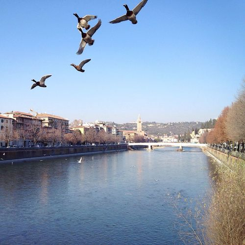 Verona Verona Italy Veneto Italy City Flying Building Exterior Architecture Bird 20/365 One Year Project Clear Sky Water Animal Themes Animals In The Wild River No People Outdoors Residential Building Day Spread Wings Cityscape Sky Nature