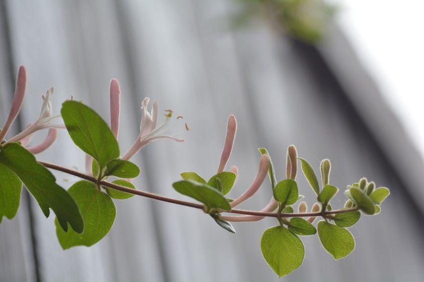 Leaf Green Color No People Flower スイカズラ 2017年 鳥が運んで来たと思われる スイカズラの蔦が延び、花が咲きました♪甘い香りがする♪