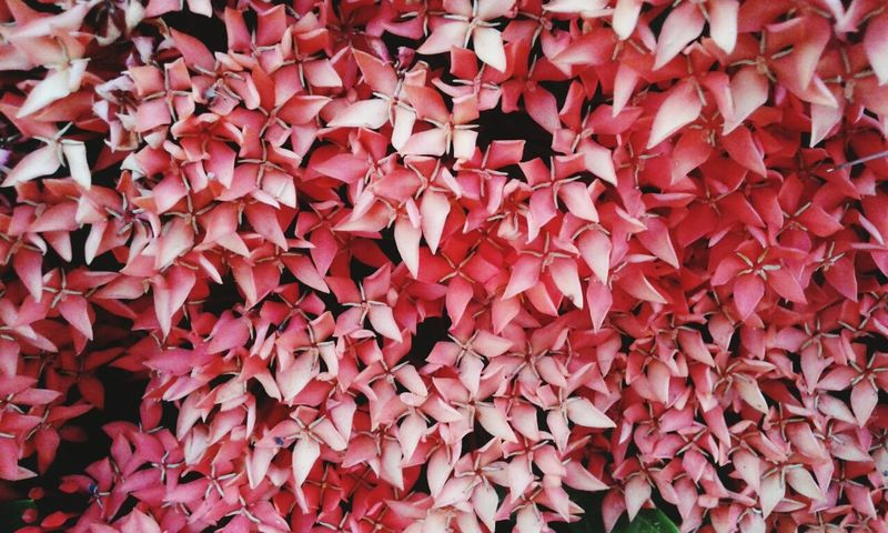 Full Frame Abundance Red Large Group Of Objects Backgrounds Pink Color Close-up No People Nature Indoors  Day Rubiaceae Plantae Lxoras