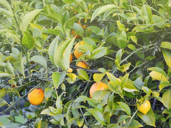 Lemons Lemon Tree Growth Leaf Fruit Plant Part Plant Healthy Eating Food Green Color Freshness Nature Citrus Fruit No People Orange Color Wellbeing Day