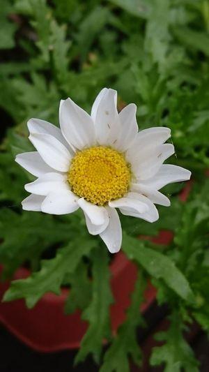 Daisy... Flower