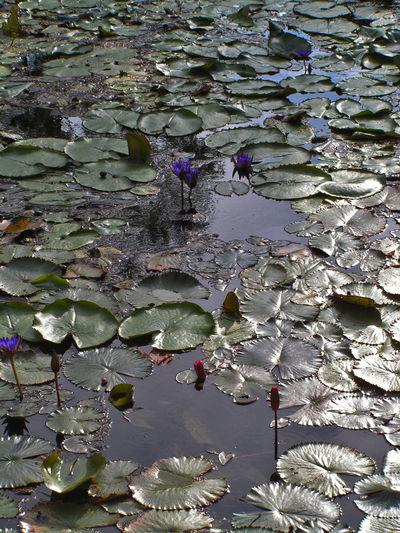 Pond Flower Hungary Heviz Leaf Water Surface Waterlily Waterlilypond First Eyeem Photo