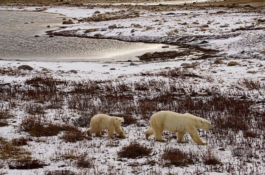 Mother Bear and Cub waiting for freeze up Animal Migration Animal Themes Bear Bear Cub Beauty In Nature CHURCHILL Cold Temperature Cub Day Environment Global Warming Hudson Bay Mammal Nature No People North Outdoors Polar Bear Snow Water Wild Animal Wildlife Shades Of Winter