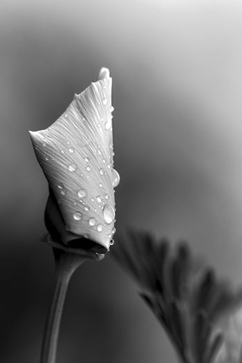 Californian Poppy B&w Beauty In Nature Close-up Dew Drop Flower Flower Head Flowering Plant Focus On Foreground Fragility Freshness Growth Inflorescence Nature No People Outdoors Petal Plant Purity RainDrop Softness Vulnerability  Water Wet