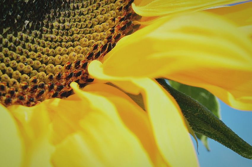 Sunflower Sunflower🌻 Up Close Flower Flower Head Flower Porn Flower Photography Centre Of Flower Yellow Flower Yellow Petals Blue Sky Beauty In Nature Nature Nature Photography EyeEm Nature Lover Macro Macro_flower Macro Sunflower Macro Petals Macro Beauty Macro Nature Macro Photography Nikon D3200