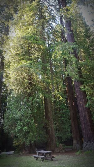 Beautiful weekend in the Grizzlycreek Park. Beautiful Nature Redwood Trees Trees TreePorn Redwoods Redwood Forest Redwoodpark Redwoods California Tree_collection  Redwood Country Tree Porn Greenery Nature_collection Nature Photography Naturelovers Freshair Hello World Trreeshades Benches Northerncalifornia Talltrees Branches And Leaves