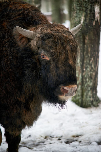 Close-up of european bison