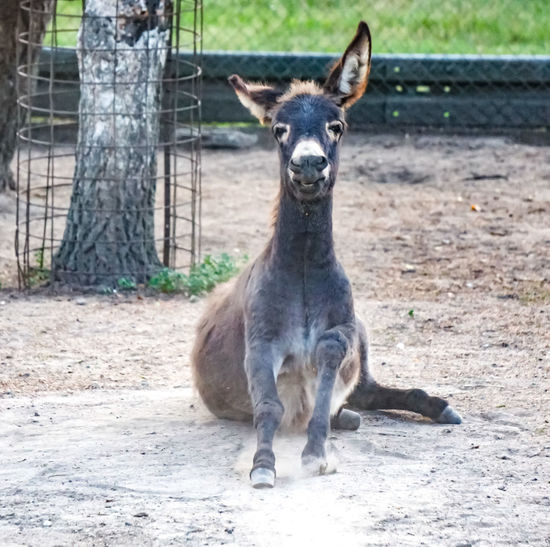Forst, Vogelpark lustiger Esel Animal Wildlife Animals In The Wild Day Donkey Esel Eselsohren Fawn Field Focus On Foreground Herbivorous Kangaroo Land Looking At Camera Mammal Nature No People One Animal Portrait Sunlight Tree Vertebrate Young Animal