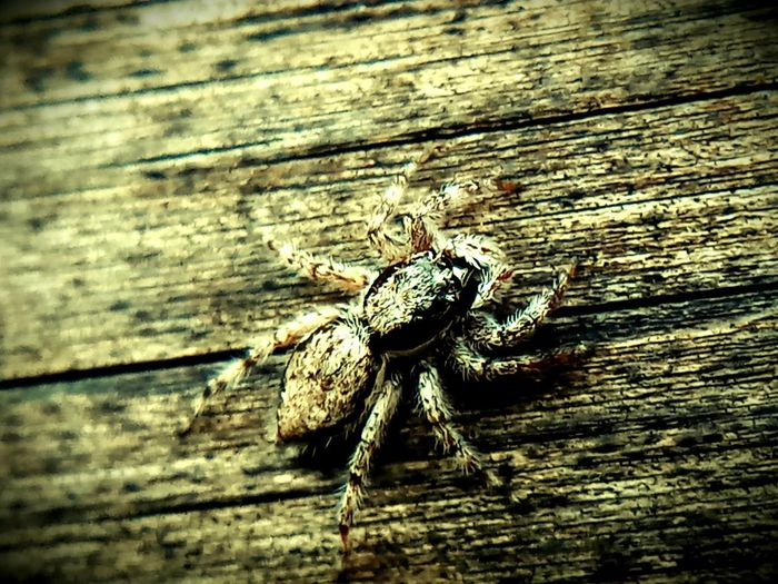 Animal Animal Themes Animal Wildlife Animals In The Wild Arachnid Arthropod Close-up Day Insect Invertebrate No People One Animal Outdoors Plank Selective Focus Spider Textured  Wood Wood - Material