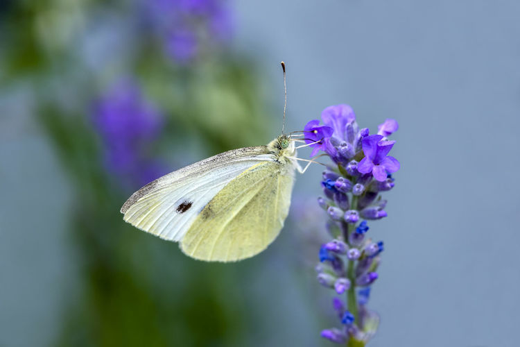 Cabbage white butterfly pollinating lavender flowers Colourful Herb Nature Plant Animal Themes Butterfly - Insect Cabbage White Butterfly Colorful Flora Fragility Fragrant Lamiales Lavandula Lavender Macro Meadow Pollinate Pollinating Pollination Pollinator Pollinators Purple Relaxing Scent Small White Butterfly Wildlife