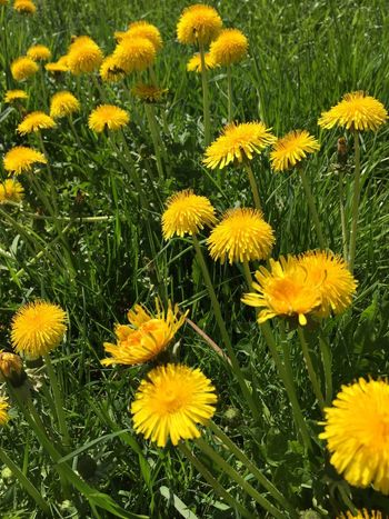 Yellow Flower Spring Löwenzahn Flowering Plant Fragility Vulnerability  Field Nature Growth No People
