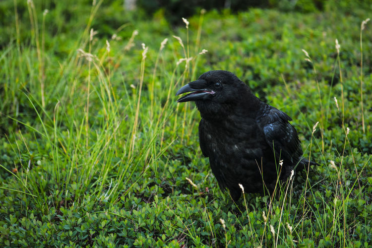 Black bird perching on grass
