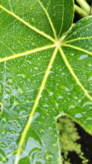 Green Color Leaf Leaf Vein Growth Water Drop Selective Focus Freshness Plant Nature Fragility Dew