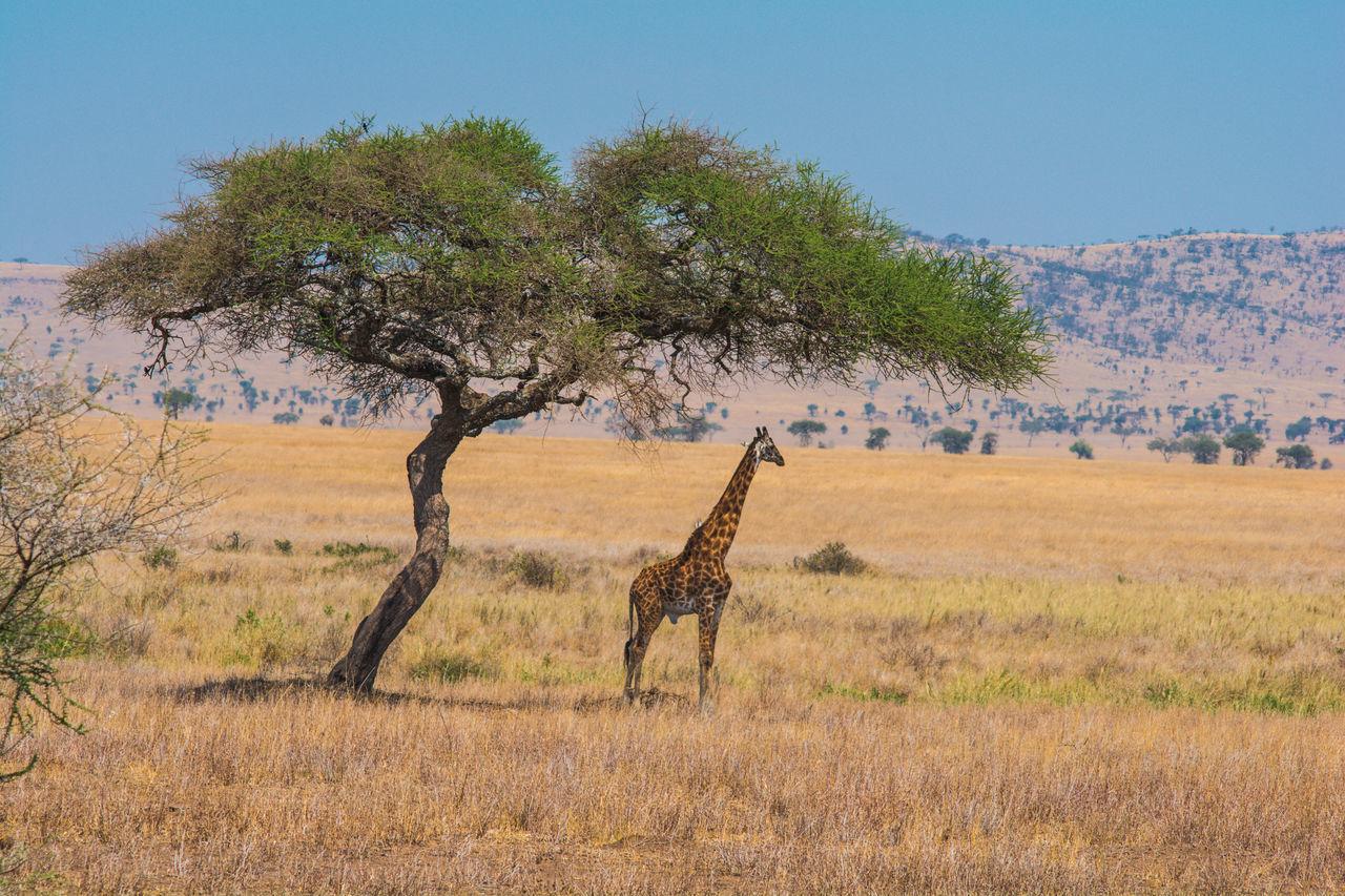 Giraffe Standing On Landscape Against Sky