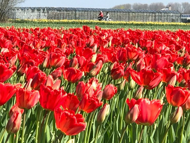 Flower Red Beauty In Nature Tulips🌷 Tulip Tulips Flowers EyeEmNewHere Beauty In Nature Freshness Red Flower Head Blooming