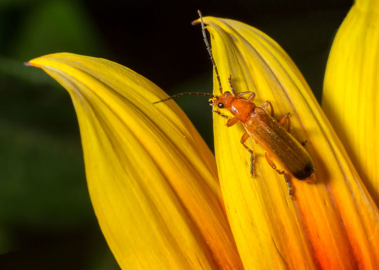 beetle on orange flower Animal Animal Themes Animal Wildlife Animals In The Wild Beauty In Nature Beetle Close-up Flower Flower Head Flowering Plant Fragility Freshness Insect Invertebrate No People One Animal Outdoors Petal Plant Pollen Pollination Vulnerability  Yellow