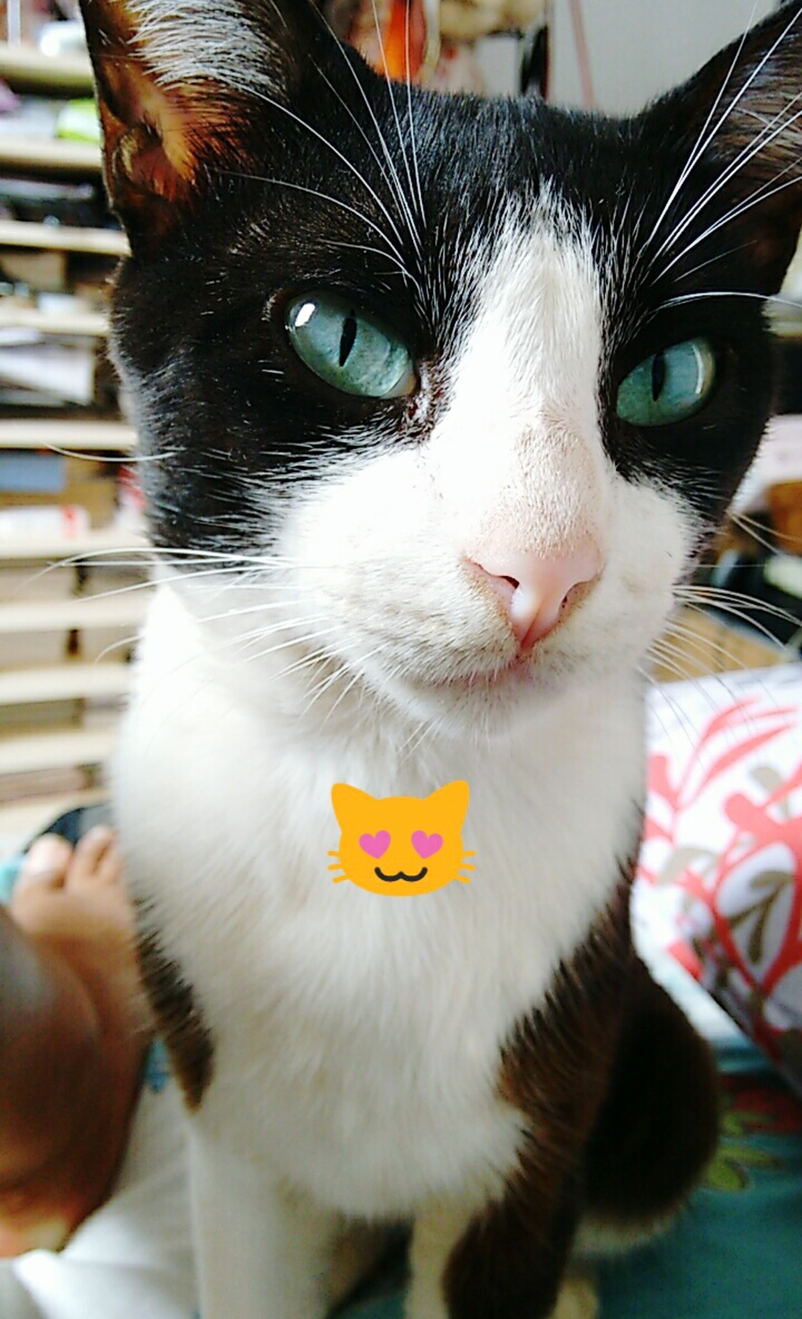 pets, domestic cat, animal themes, domestic animals, cat, one animal, feline, portrait, whisker, mammal, looking at camera, indoors, close-up, animal eye, focus on foreground, animal head, alertness, front view, staring