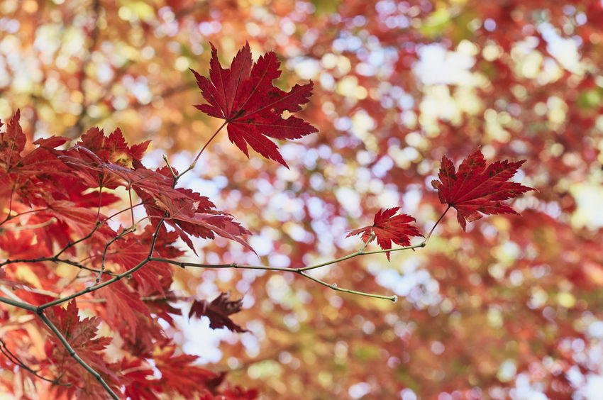 Beautiful Maple in Autumn. Autumn Beauty In Nature Change Close-up Day Fragility Growth Leaf Maple Maple Leaf Maple Tree Maroon Nature No People Outdoors Plant Red Scenics Tree