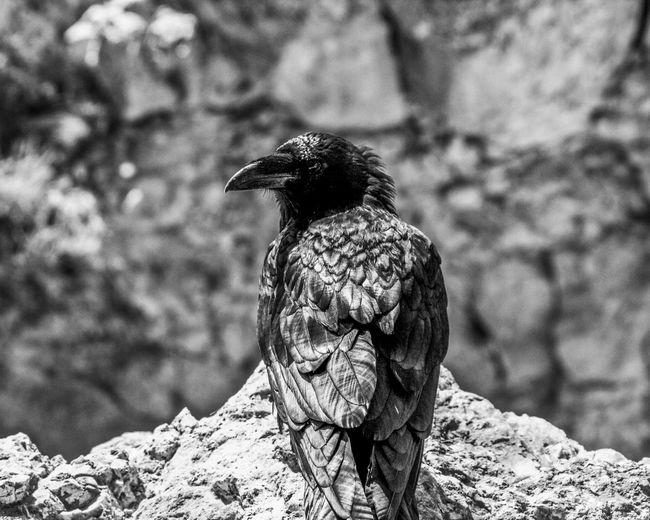 An other life California Meditation Still Life Photography Still Life Black Bird Raven - Bird Animal Themes Bird Vertebrate Animals In The Wild Animal Animal Wildlife EyeEmNewHere One Animal Focus On Foreground Rock Outdoors Close-up Rear View Sunlight Nature No People Rock - Object