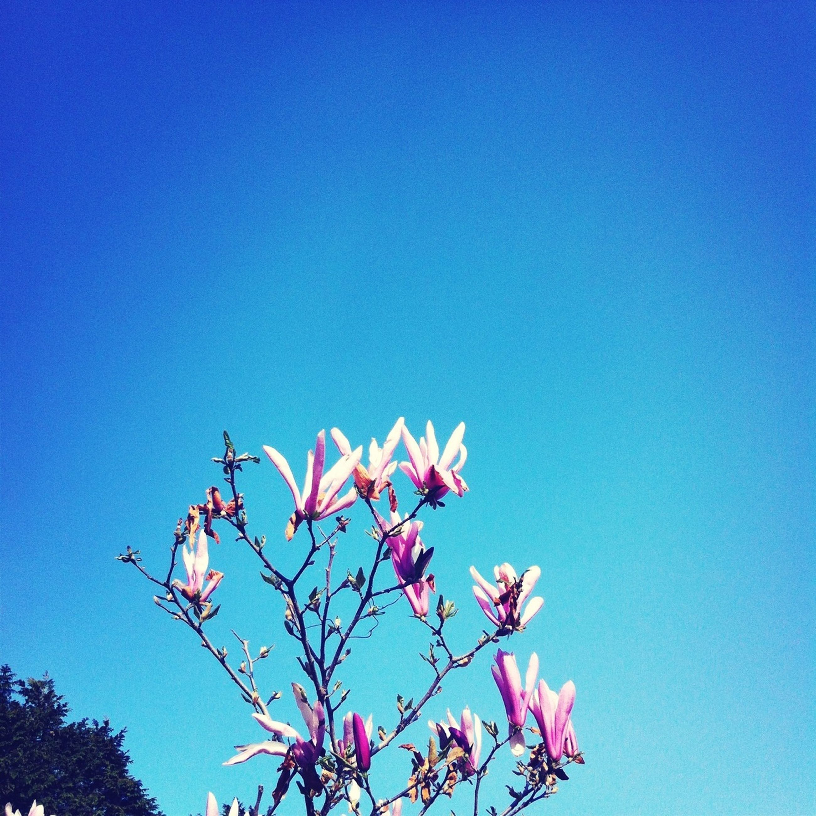 clear sky, low angle view, blue, copy space, flower, growth, nature, beauty in nature, tree, branch, fragility, pink color, freshness, high section, outdoors, day, no people, sky, tranquility, blooming