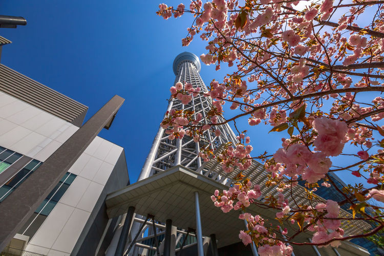 Tokyo Skytree with cherry blossoms in full bloom in Sumida District, Tokyo, Japan. Tokyo Skytree is the tallest tower in the world, broadcasting and observation tower. Asakusa,tokyo,japan Cherry Cherry Blossom Cityscape Hanami Sakura  Japan Japanese  Observatory SkyTree Tower Skyline Skytree Tokyo Tokyo Tokyo,Japan Top Tree Aerial View Architecture Asakusa Blossom Branch Building Building Exterior Built Structure Change Cherry Blossom Cherry Tree Clear Sky Day Flower Flowering Plant Growth Hanami Low Angle View Nature No People Office Building Exterior Outdoors People Plant Sky Skyscraper Skytree Springtime Sumida Tower Tree