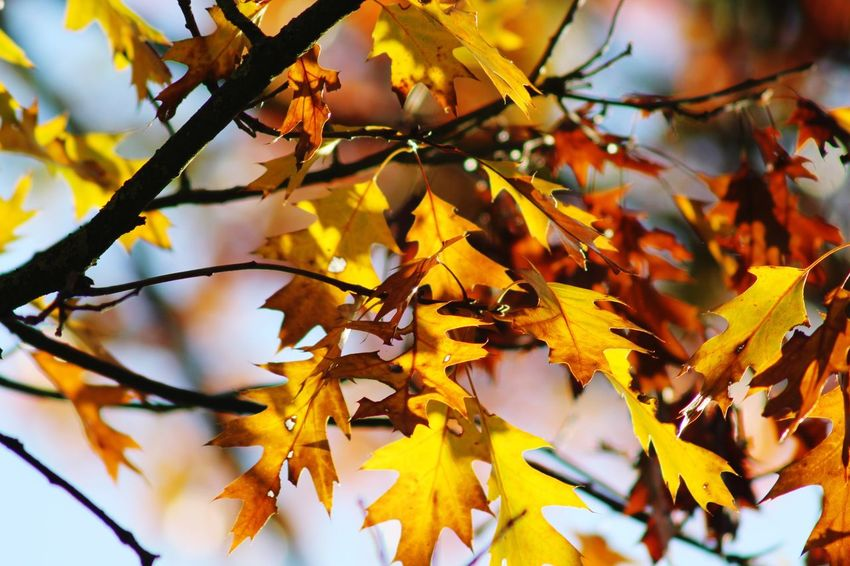 Autumn Autumn Change Plant Part Leaf Branch Tree Maple Leaf Nature Plant Yellow Maple Tree No People Beauty In Nature Leaves Day Close-up Outdoors Orange Color Focus On Foreground Growth