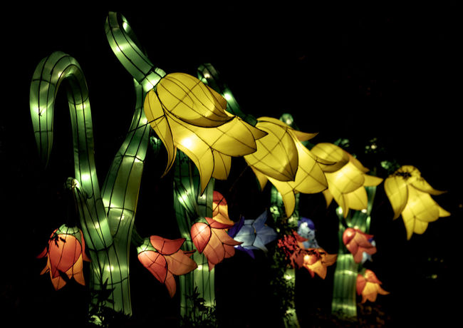 Boernerbotanicalgardens China Light Festival Lanterns Milwaukee Black Background Close-up Flower Flower Head Flowers Fragility Night No People Outdoors Yellow