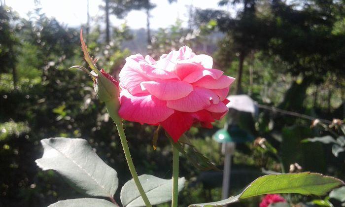 Flower Mawar Wonosobo