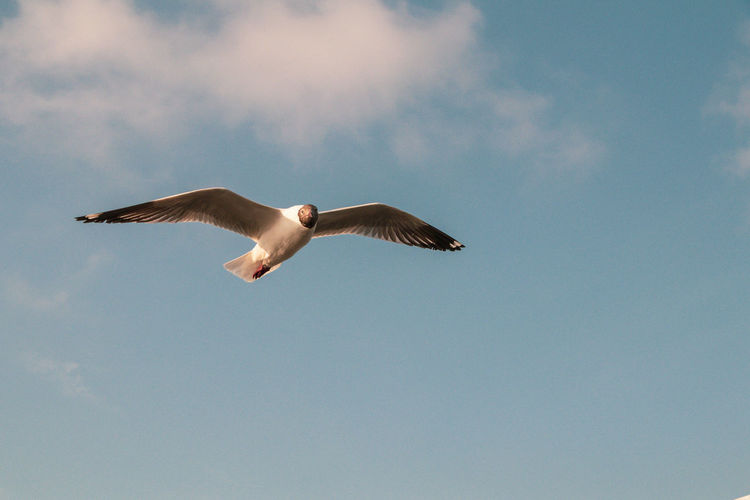 Close up Seagull flying in the air and sky background.Freedom seagull expand wings in the sky. Animal Themes Animals In The Wild Animal Bird Animal Wildlife Vertebrate Spread Wings Flying Sky Low Angle View Nature Seagull Motion Mid-air No People Day SEAGULL IN FLIGHT Wildlife