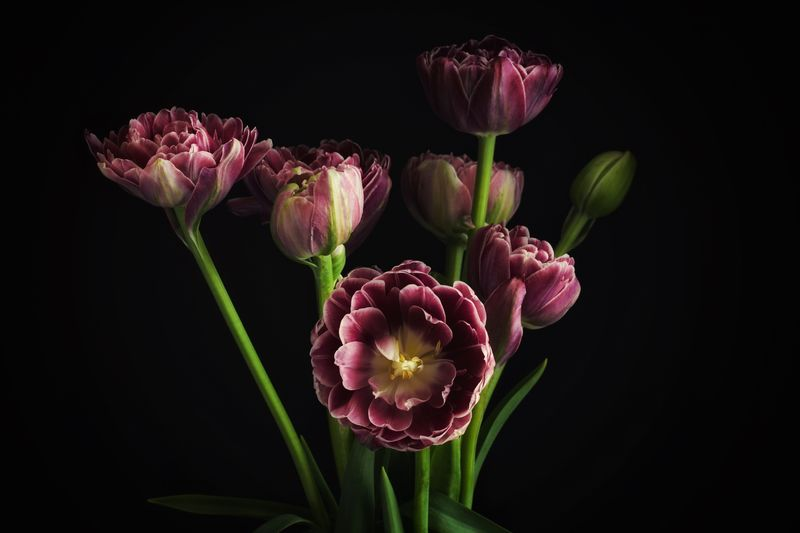 Beauty in purple Peony Flower Flowering Plant Flower Plant Freshness Vulnerability  Fragility Beauty In Nature Petal Close-up Flower Head Growth Pink Color Nature Studio Shot No People Indoors  Plant Stem Bud Black Background