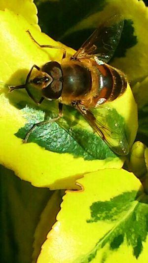 Samsung s4 macro Macro Insect  Samsung Galaxy S4 Macro Photography Macro Bee Macro Nature Bee Macro Bees