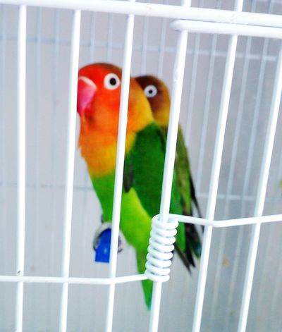 Bird Animal Themes Parrot Animal Wildlife Cage Multi Colored Close-up Animals In The Wild Trapped Budgerigar No People Birdcage Perching Day Indoors  Nature_collection Landscape_collection EyeEmNatureLover