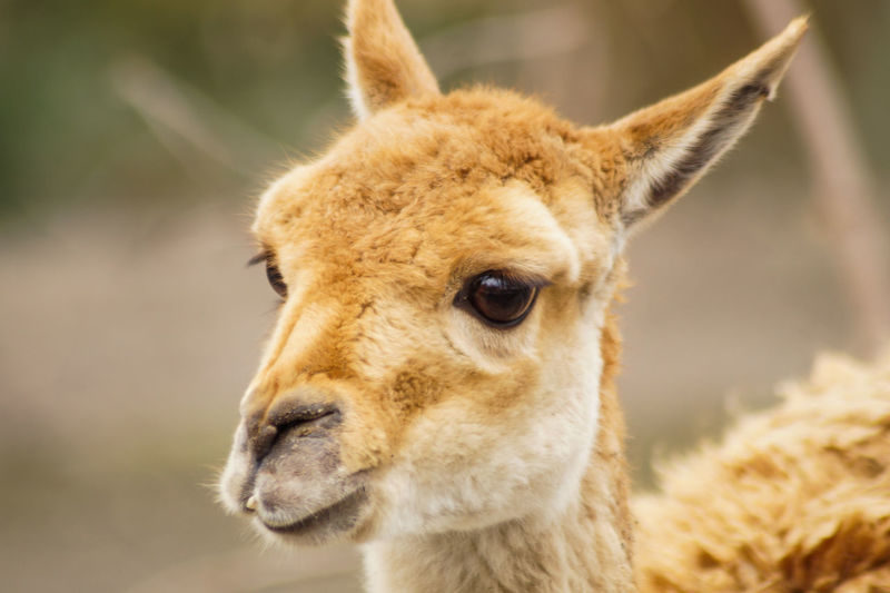 deer Animal Themes One Animal Animal Mammal Animal Wildlife Animals In The Wild Animal Head  Animal Body Part Focus On Foreground Close-up Domestic Animals Llama No People Livestock Portrait Vertebrate Day Alpaca Nature Young Animal Herbivorous Whisker