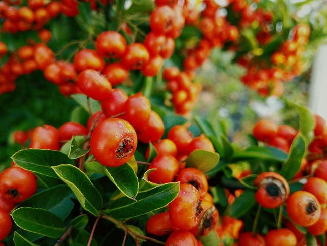 Red Fruit Freshness Close-up Growth Nature Leaf Outdoors Juicy Rowanberry Beauty In Nature Day Growth Beauty In Nature Orange Blooming Red