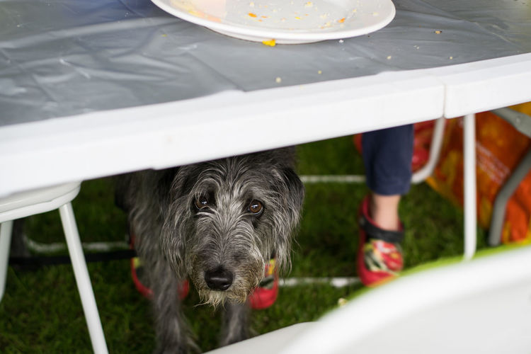 Portrait of dog under dining table