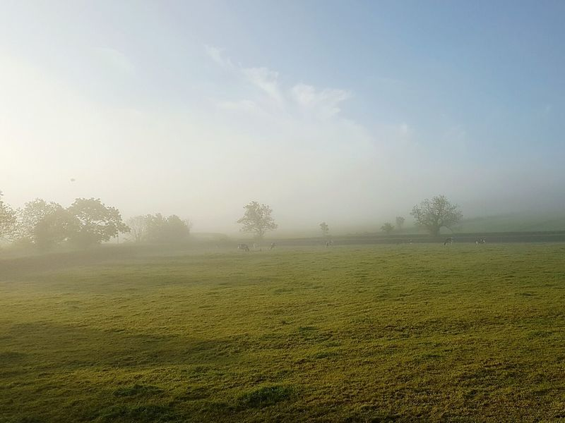 Early Morning Misty Morning Mist Cows Grazing Early To Wake Somerset England