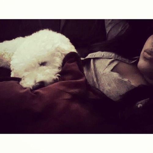 nap time with poncho Littlepoodle Helivesthegoodlife
