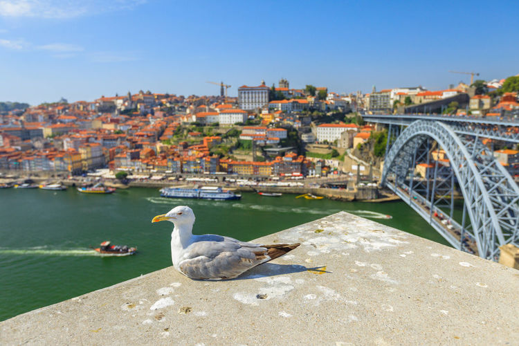 Seagull looking at the city of Porto skyline. Freedom and travel concept. Aerial view of iconic Dom Luis I Bridge on Douro River on the horizon with blurred background. Portugal Porto Tourism City Aerial View Cloudscape Cityscape Landscape Panorama Europe People Church Church Architecture Architecture Town Porto Portugal 🇵🇹 Monment Oporto City Oporto Downtown Oporto Streets Seagull Bridge River Sea Built Structure Building Exterior Water Bird Animals In The Wild Vertebrate Nature Animal Wildlife Animal Animal Themes Day Sky Transportation One Animal Bridge - Man Made Structure No People Outdoors