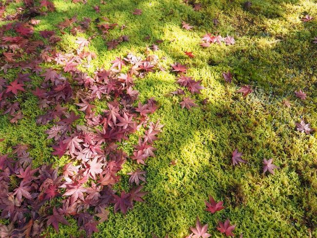 Kyoto Japan Kouetsuji Autumn Autumn Colors Momiji Leaves Temple Moss Olympus PEN-F 京都 日本 光悦寺 寺 紅葉 もみじ 苔 葉