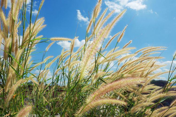 Feather grass