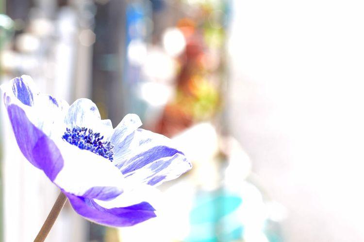 Blue Flower Close-up No People Fragility Flower Head Indoors  Day アネモネ Anemone 奥行き オールドレンズ