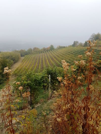 Agriculture Rural Scene Field Hill Growth Wine Winemaking Fog Vineyard Nature Crop  Tree Weather Landscape Grape Outdoors Social Issues No People Day Autumn Autumn Langhe Piedmont Italy Vineyards In Autumn Travel Destinations