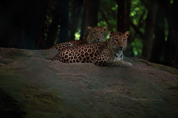 Leopards relaxing on rocks in forest