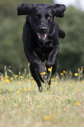 Portrait of black dog running on grassy field