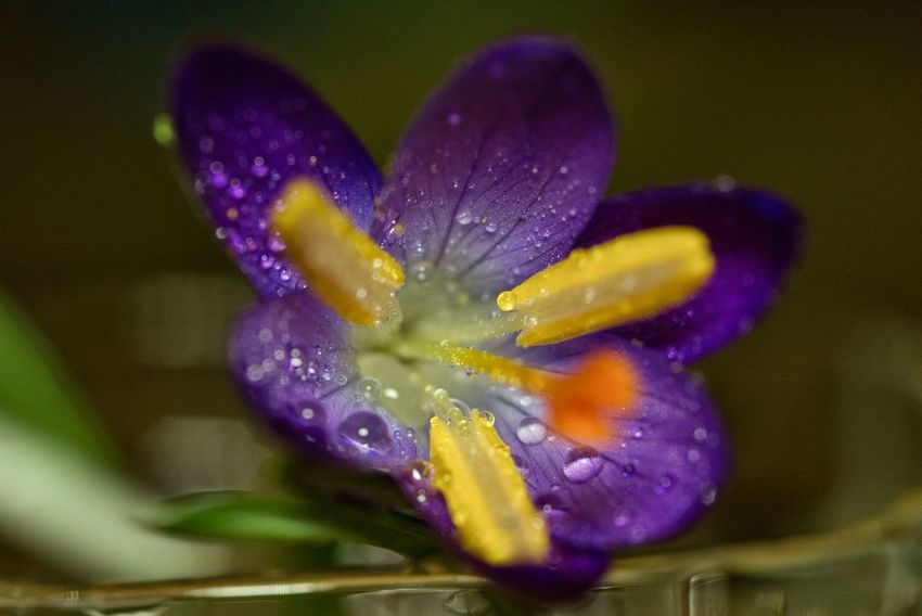 Flower Purple Nature Fragility Petal Freshness Close-up Growth Flower Head Beauty In Nature Plant No People Poppy Outdoors Day Crocus